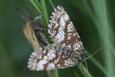 Two moths mating.
