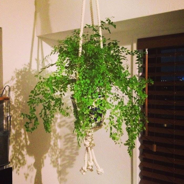観葉植物のアジアンタムを手作りのロープで吊り下げている