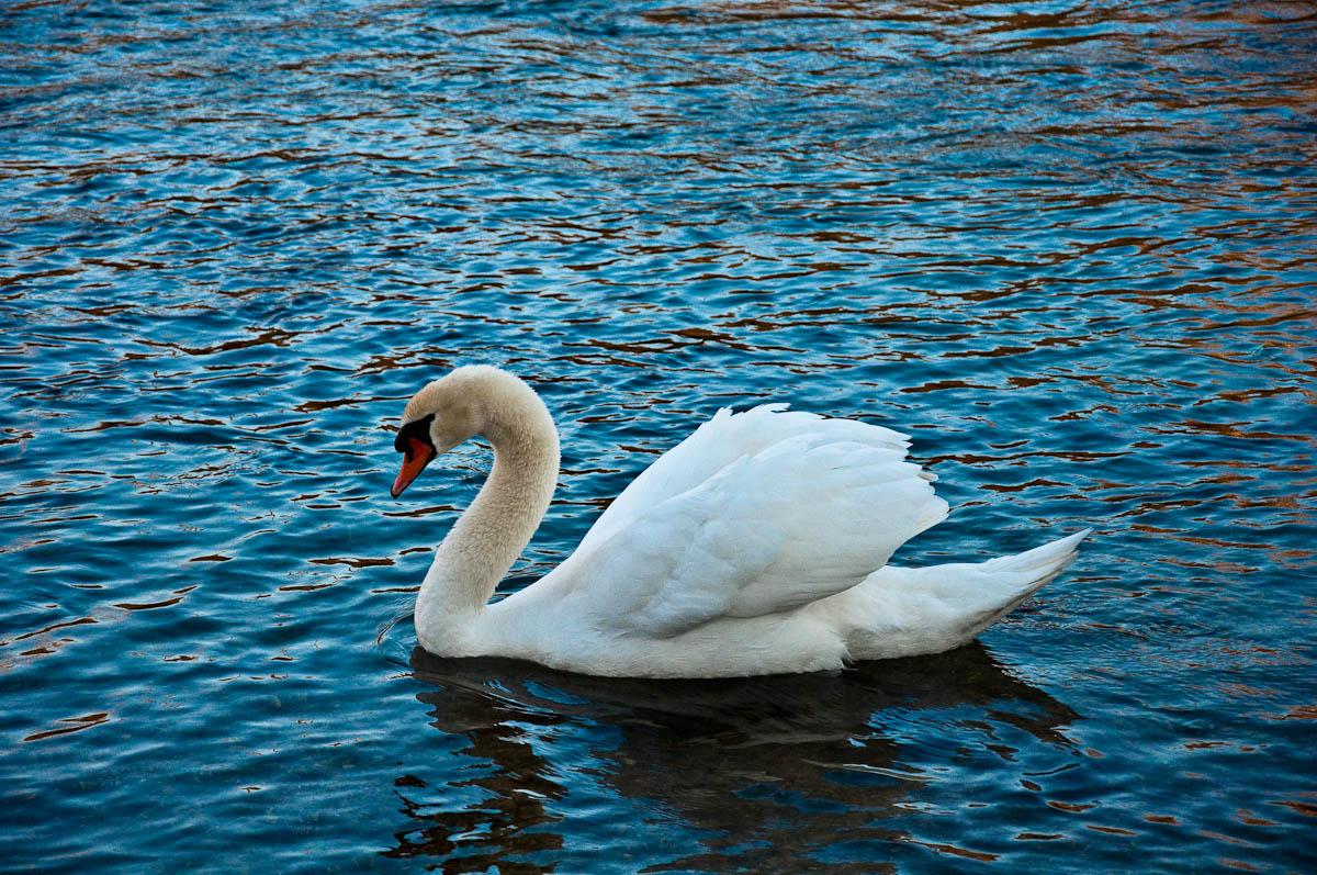A beautiful swan on the river Mincio, Veneto, Italy
