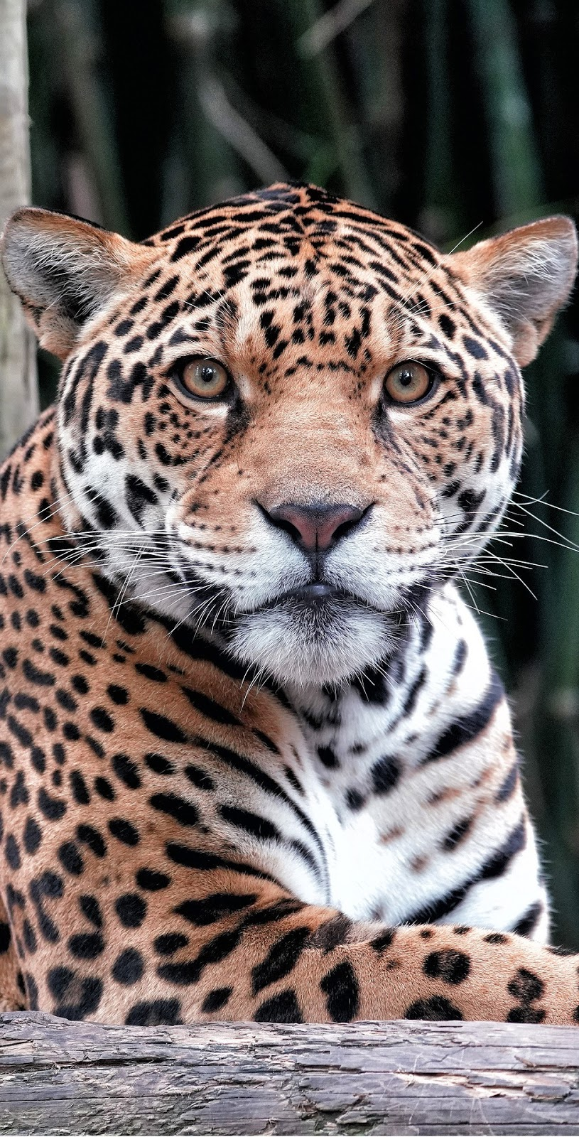 A majestic jaguar.