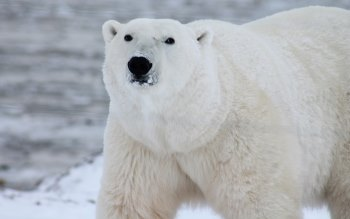 Wallpaper: Polar Bear portrait