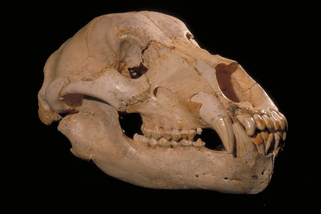 Extinct vegetarian cave bear diet mystery unravelled