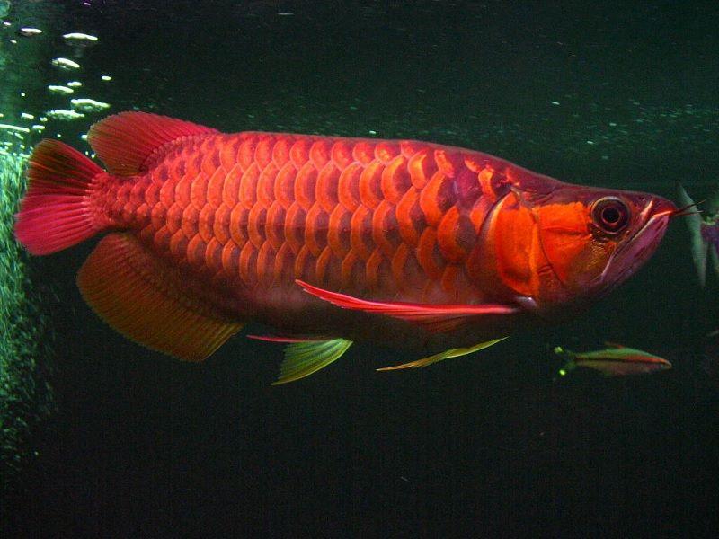 Gambar Klasifikasi Ilmiah Ikan Arwana Super Red