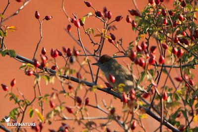 Curruca capirotada (Sylvia atricapilla) entre escaramujos, el fruto del rosal silvestre.