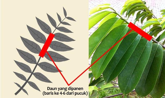 khasiat dan cara merebus daun sirsak yang benar