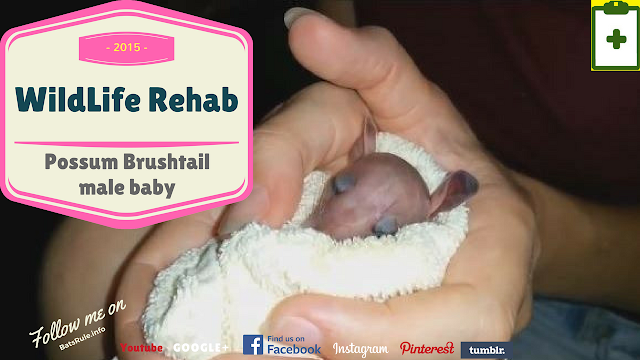 Rehab | Possum | Brush tail male baby