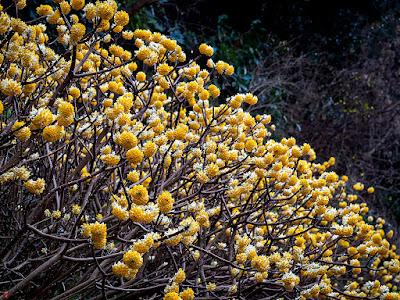 Mitumata (Edgeworthia papyrifera) flowers: Kencho-ji