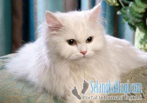 Cara Memberi Makan Kucing Persia