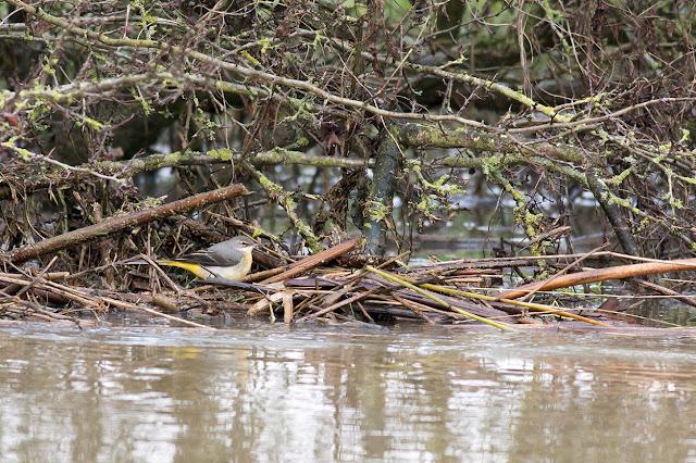Grey Wagtail in amongst fallen twigs