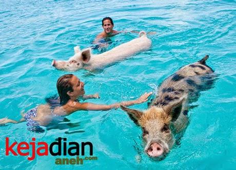 pulau babi air Uniknya Pulau Babi Surga Para Babi, Pacar Ronaldo pun Tertarik Mengunjunginya