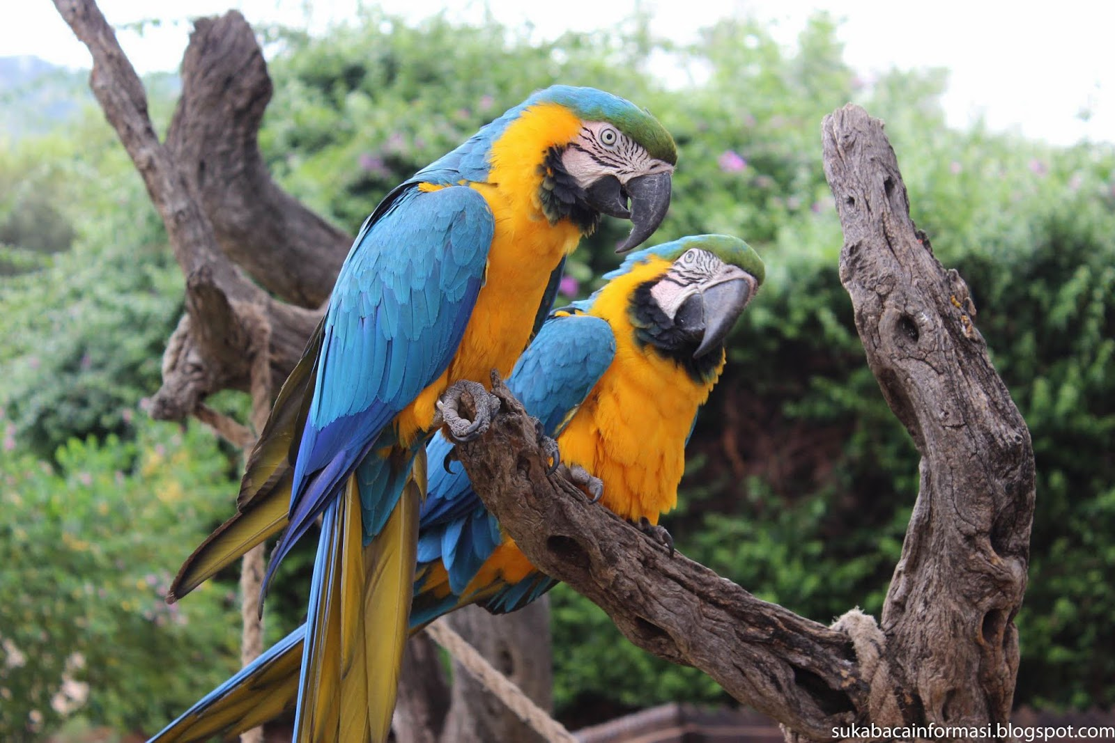 Kumpulan Foto Burung Beo Biru