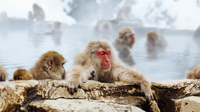 Snow Monkeys HD
