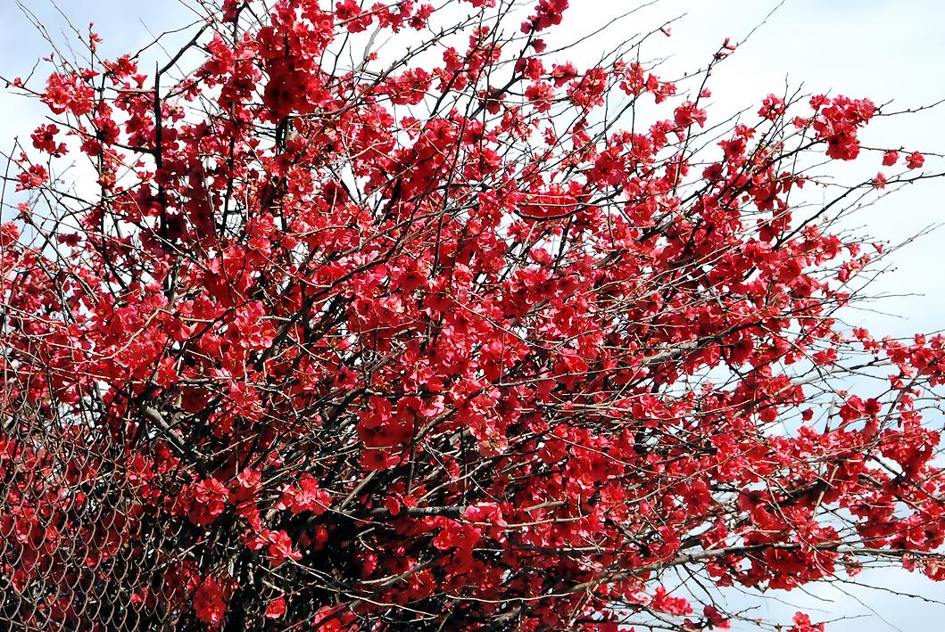 Fotos de flores arbusto membrillero japon s for Arbustos de hoja caduca