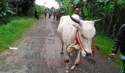 Warga saat mengamankan 2 ekor sapi curian