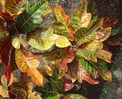 Crotons (Codiaeum variegatum), planta de interior
