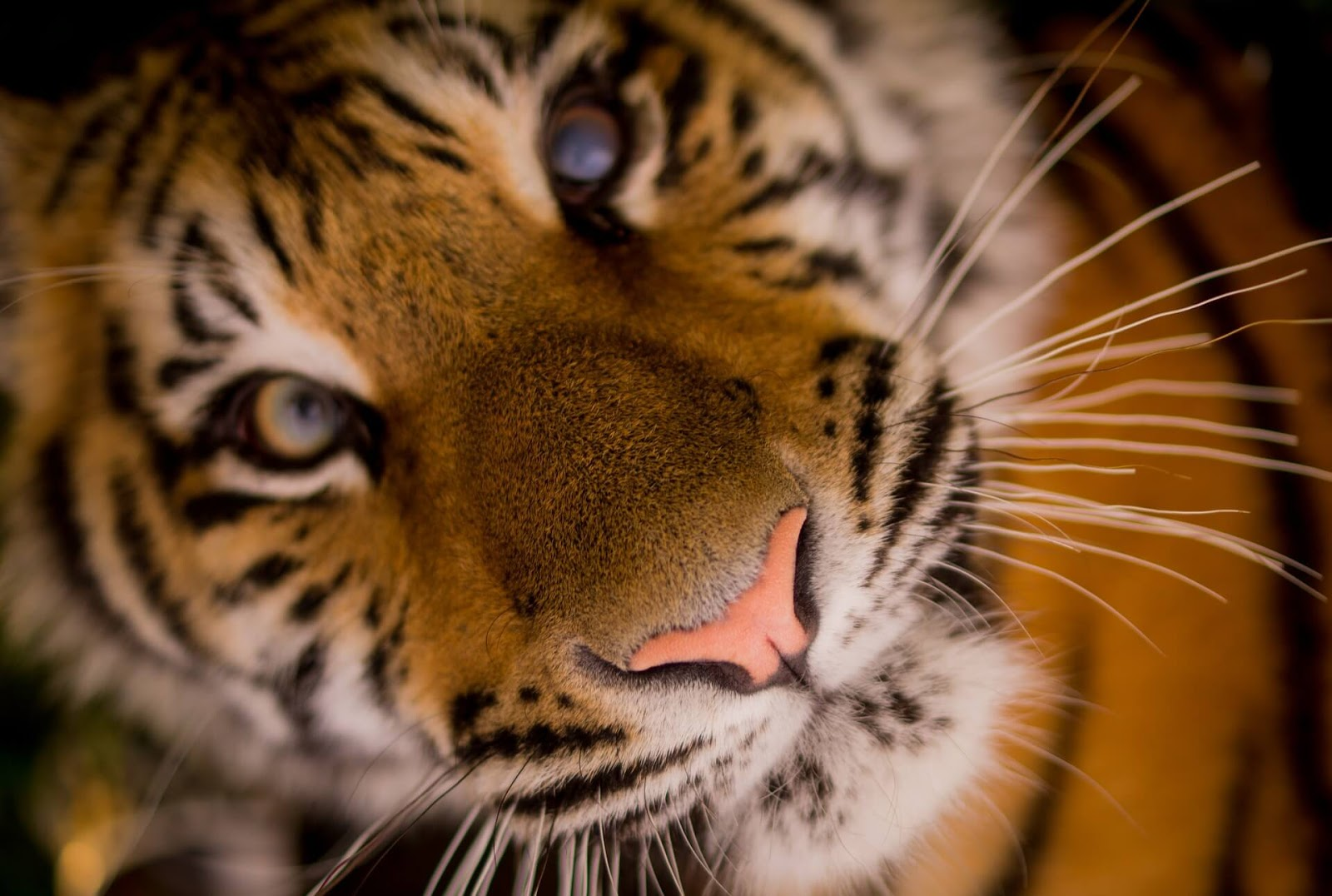 tiger images in forest