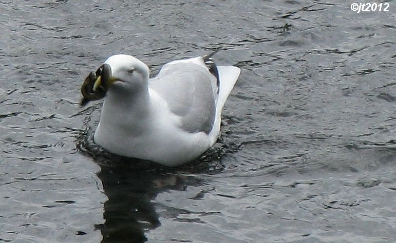 Simply Superb Swans: Gulls, Why You Shouldn't Feed Them