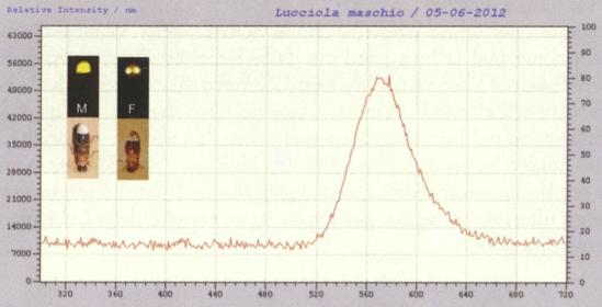 Firefly spectrum, male