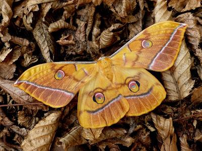 Antheraea yamamai female