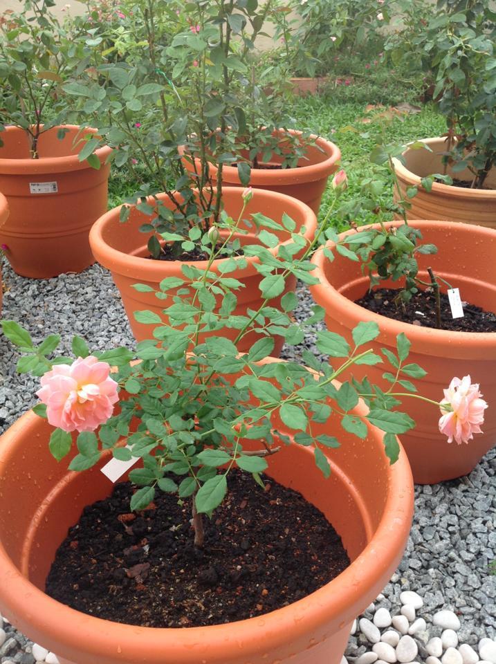 Bunga Ros Cara Menanam Dan Cara Penjagaan Ana