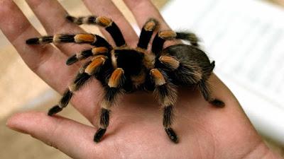 Tarantula Örümceği