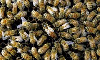 Η εξέλιξη μιας αποικίας μελισσών...