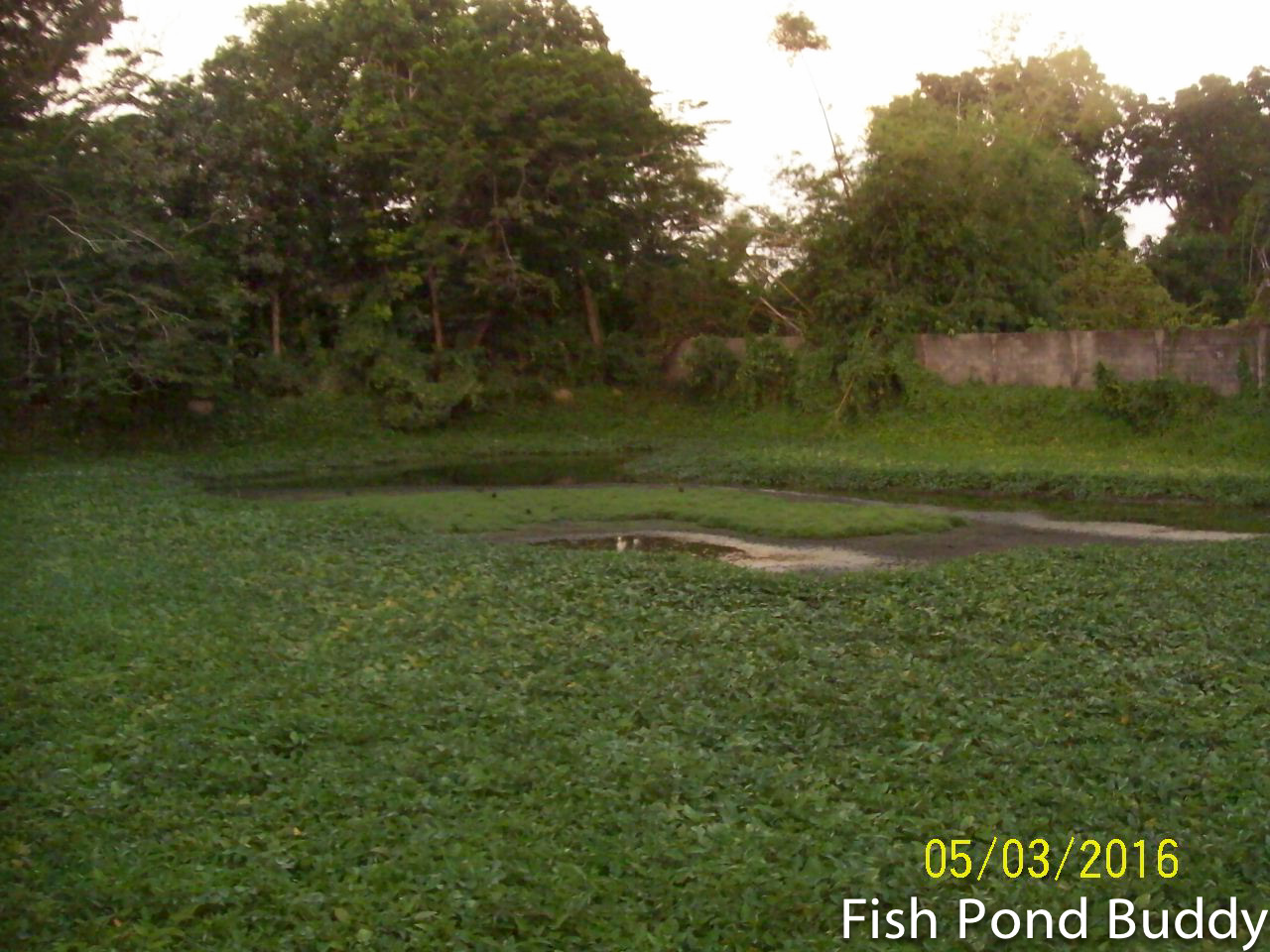 Fish Pond Buddy How To Catch And Cook Sikling Plain Bush Hen At The Fish Farm