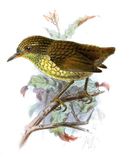 New Zealand wren DNA analysis reshapes geological theory