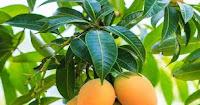 Kebaikan Mango Berlepas Diabetes