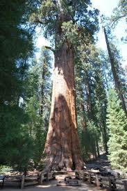 Pohon+General+Sherman+Amerika+Serikat - 10 Pohon Terunik di Dunia