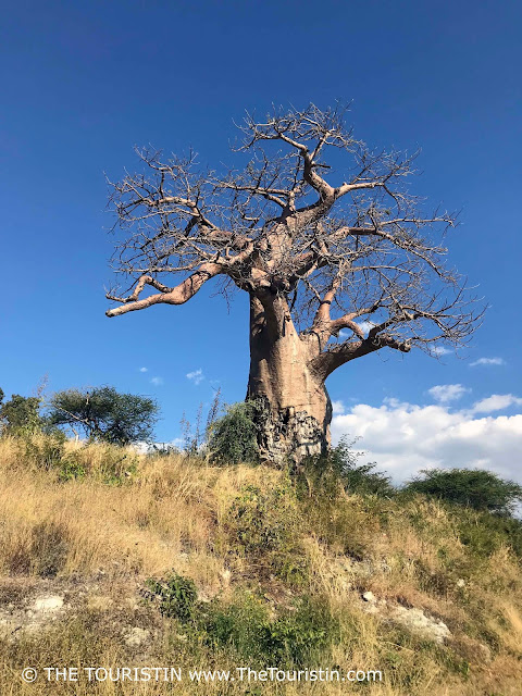 Baobab at the Ngoma border post in Namibia