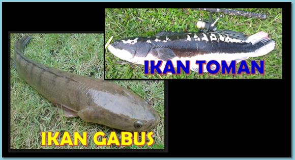Unduh 620 Koleksi Gambar Orang Mancing Ikan Gabus HD Gratis