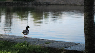 Photo of a single duck at the Tidal Basin