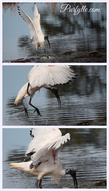 Australian White Ibis has striking black feet and bill and 'lace' feathers