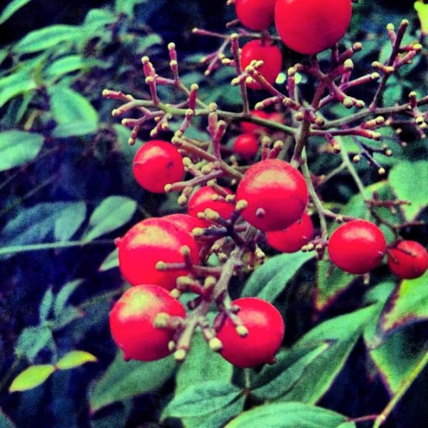 Red Fruits Pablo Lara H