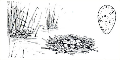 nido de la Pollona negra Gallinula galeata