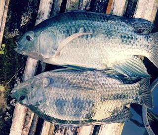 Makanan Ikan Nila Supaya Cepat Besar
