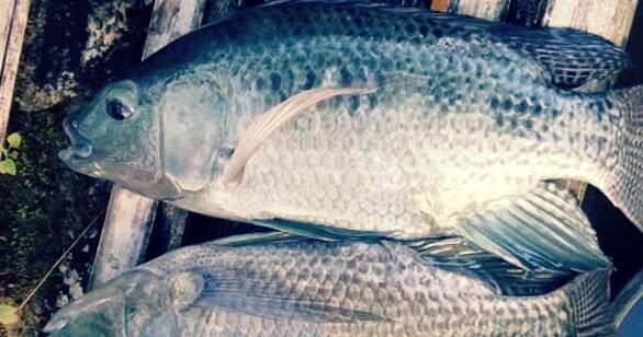 4 Makanan Ikan Nila Supaya Cepat Besar Hobinatang