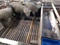 Trik dan Tips Membeli Serta Merawat Domba Merino by 78 Farm