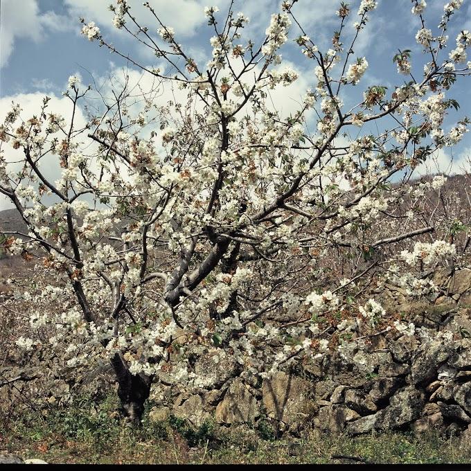 La floración en el Valle del Jerte anuncia la primavera y las mejores cerezas