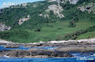habitat Chatham Oystercatcher