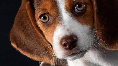Problema ocular perros