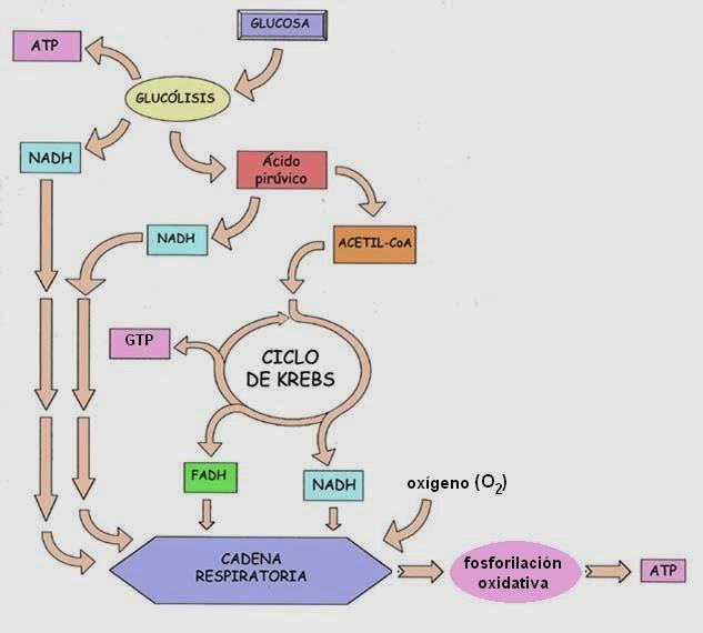 BIOLOGÍA I: BLOQUE IV. Describes el metabolismo de los..