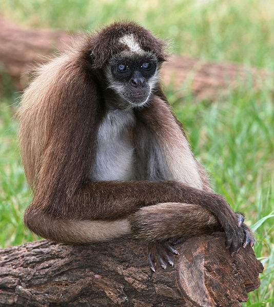 Mammals Animals: Brown Spider Monkey