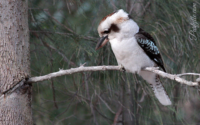 laughing kookaburra sitting in a casuarina tree