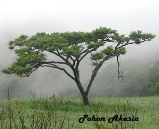 pohon akasia | budidaya akasia | menanam akasia | ciri-ciri akasia