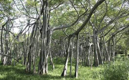 Indian forest formed by a single tree