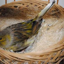 Penyebab Dan Cara Mengatsi Telur Kenari Gagal Menetas