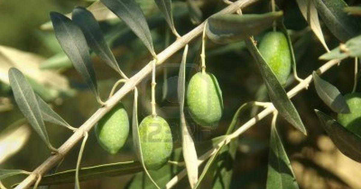 IL BOSCO DELLE FATE: Olivo(Olea europaea)