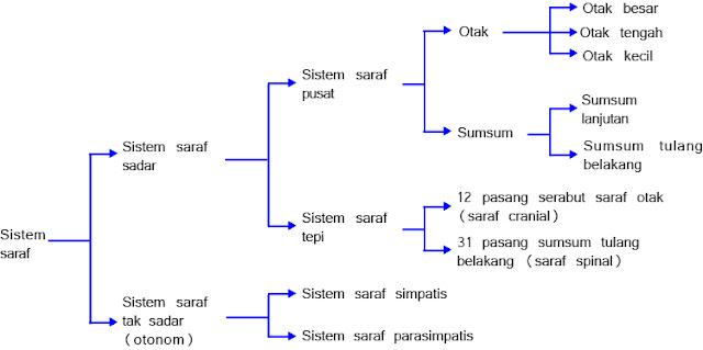 Skema Susunan Sistem Saraf Manusia